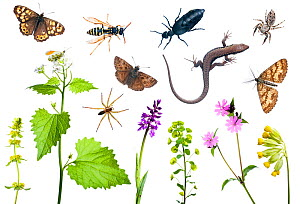 Composite of many different species  of plants, insects spiders and Wall Lizard (Podarcis muralis) from Preporche, Burgundy, France, April. meetyourneighbours.net project  -  MYN / Niall Benvie