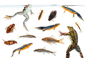 Field studio composite of amphibians, fish, and aquatic invertebrates from Preporche, Burgundy, France, April. meetyourneighbours.net project - MYN / Niall Benvie