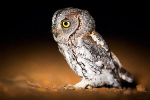 African Scops Owl (Otus senegalensis) pn the ground ant night, South Luangwa National Park, Zambia. January.  -  Piotr Naskrecki