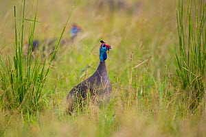 Helmeted guineafowl (Numida meleagris) looking out over tall grass, South Luangwa National Park, Zambia. March. - Will Burrard-Lucas