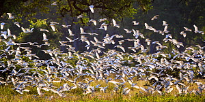 Flock of Cattle egrets (Bubulcus ibis) taking off, South Luangwa National Park, Zambia. March. - Will Burrard-Lucas