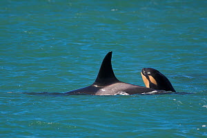 Orca (Orcinus orca) baby age 10 days, swimming with his mother. Punta Norte Natural Reserve, Peninsula Valdes, Chubut Province, Patagonia Argentina - Gabriel Rojo