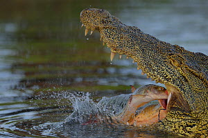 Tiger fish fights back by  biting back of throat of Nile crocodile (Crocodylus niloticus) that is trying to catch it, Chobe River, Botswana, November.  -  Lou Coetzer