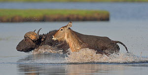 African / Cape buffalo (Syncerus caffer) and Waterbuck (Kobus ellipsiprymnus) crossing water, Chobe River, Botswana, November.  -  Lou Coetzer