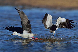 Black winged stilt (Himantopus himantopus) in territorial fight with Blacksmith plover (Vanellus armatus) taking off, Chobe River, Botswana, May.  -  Lou Coetzer