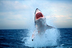 Great white shark (Carchardon carcharias) breaching on seal decoy, False Bay, South Africa  -  Chris & Monique Fallows