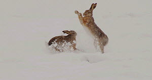 Two European hares (Lepus europaeus) boxing in a snow covered field, Germany, March.  -  Dietmar  Nill