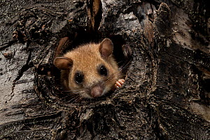 Edible dormouse (Glis glis) in tree hole, Black Forest, Baden-Wurttemberg, Germany. July. - Klaus Echle
