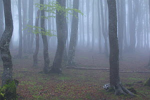 Black Forest tree trunks in mist, Baden-Wurttemberg, Germany. May. - Klaus Echle