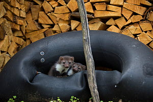 Beech / Stone marten (Martes martes) juveniles in tire by wood store, Black Forest, Baden-Wurttemberg, Germany. May. - Klaus Echle