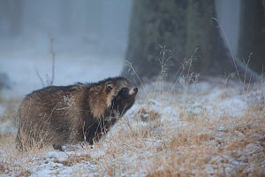 Raccoon dog (Nyctereutes procyonoides) sniffing the air, introduced species, Black Forest, Baden-Wurttemberg, Germany. January. - Klaus Echle