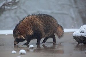 Raccoon dog (Nyctereutes procyonoides) walking on ice, introduced species, Black Forest, Baden-Wurttemberg, Germany. January. - Klaus Echle