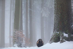 Raccoon dog (Nyctereutes procyonoides) in snowy forest, introduced species, Black Forest, Baden-Wurttemberg, Germany. January. - Klaus Echle