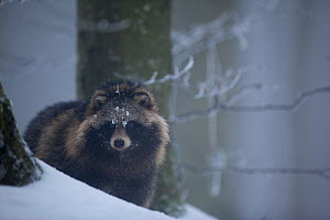 Raccoon dog (Nyctereutes procyonoides) in snow, introduced species, Black Forest, Baden-Wurttemberg, Germany. January. - Klaus Echle