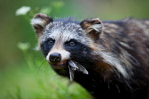 Raccoon dog (Nyctereutes procyonoides) with feathers in mouth, introduced species, Black Forest, Baden-Wurttemberg, Germany. July. - Klaus Echle