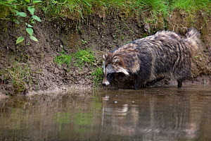 Raccoon dog (Nyctereutes procyonoides) walking along river bank, introduced species, Black Forest, Baden-Wurttemberg, Germany. - Klaus Echle