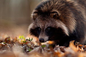 Raccoon dog (Nyctereutes procyonoides) portrait, introduced species, Black Forest, Baden-Wurttemberg, Germany. March. - Klaus Echle