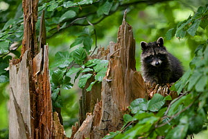 Raccoon (Procyon lotor) looking over fallen tree stump, introduced species, Black Forest, Baden-Wurttemberg, Germany. July. - Klaus Echle