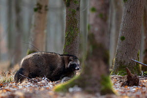 Raccoon dog (Nyctereutes procyonoides) walking in forest, introduced species, Black Forest, Baden-Wurttemberg, Germany. March. - Klaus Echle