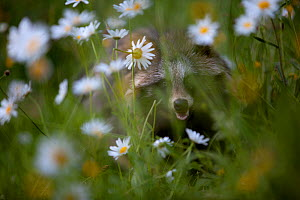 Raccoon dog (Nyctereutes procyonoides) in Ox-eye daisies, introduced species, Black Forest, Baden-Wurttemberg, Germany. May. - Klaus Echle