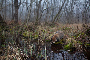 Raccoon dog (Nyctereutes procyonoides) at small pond in woodland, introduced species, Black Forest, Baden-Wurttemberg, Germany. February. March. - Klaus Echle