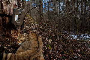 Wild cat (Felis silvestris) with remote camera, Black Forest, Baden-Wurttemberg, Germany. February. - Klaus Echle