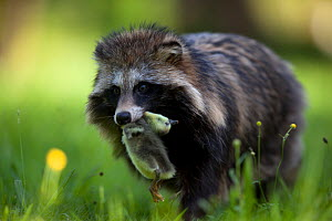 Raccoon dog (Nyctereutes procyonoides) with duckling prey, introduced species, Black Forest, Baden-Wurttemberg, Germany. May. - Klaus Echle
