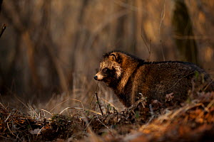 Raccoon dog (Nyctereutes procyonoides) profile, introduced species, Black Forest, Baden-Wurttemberg, Germany. February. - Klaus Echle