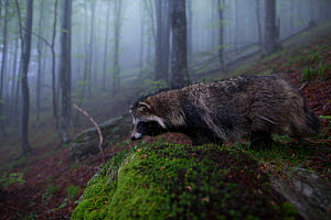 Raccoon dog (Nyctereutes procyonoides) in habitat, introduced species, Black Forest, Baden-Wurttemberg, Germany. May. - Klaus Echle
