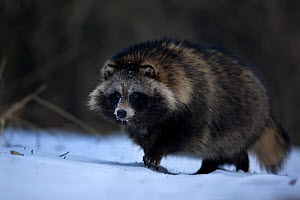 Raccoon dog (Nyctereutes procyonoides) in snow, introduced species, Black Forest, Baden-Wurttemberg, Germany. February. - Klaus Echle
