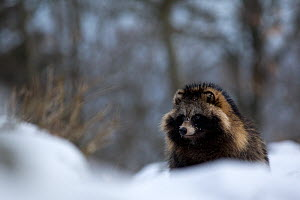 Raccoon dog (Nyctereutes procyonoides) portrait in snow, introduced species, Black Forest, Baden-Wurttemberg, Germany. February. - Klaus Echle