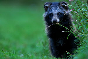 Raccoon dog (Nyctereutes procyonoides) portrait in grass, introduced species, Black Forest, Baden-Wurttemberg, Germany. August. - Klaus Echle