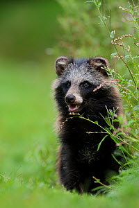 Raccoon dog (Nyctereutes procyonoides) portrait in grassl, introduced species, Black Forest, Baden-Wurttemberg, Germany. August. - Klaus Echle