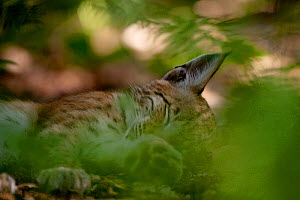 Eurasian lynx (Lynx lynx) sleeping in undergrowth, Black Forest, Baden-Wurttemberg, Germany. August.  Captive. - Klaus Echle