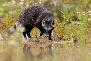 Raccoon dog (Nyctereutes procyonoides) walking at waters edge, introduced species, Black Forest, Baden-Wurttemberg, Germany. July. - Klaus Echle