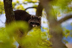 Raccoon (Procyon lotor) portrait in tree, introduced species,  Black Forest, Baden-Wurttemberg, Germany. April. - Klaus Echle