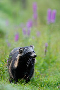 Raccoon dog (Nyctereutes procyonoides) feeding on bird, introduced species, walking in flowers, Black Forest, Baden-Wurttemberg, Germany. - Klaus Echle