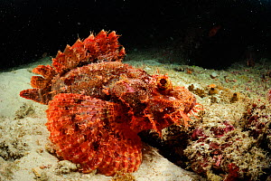 Tassled scorpionfish (Scorpaenopsis oxycephala) swimming just above sea bed, Raja Ampat, West Papua, Indonesia, Pacific Ocean. - Solvin Zankl