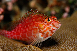 Spotted hawkfish (Cirrhitichthys aprinus) portrait, above coral, Raja Ampat, West Papua, Indonesia, Pacific Ocean. - Solvin Zankl