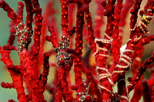 Tiny Brittlestars (Ophiothrix sp) wrapped around the branches of Fan coral, Raja Ampat, West Papua, Indonesia, Pacific Ocean.  -  Solvin Zankl