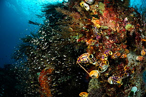 Rich reef landscape with Ox heart ascidian (Polycarpa aurata) and Reef fish, Raja Ampat, West Papua, Indonesia, Pacific Ocean. - Solvin Zankl