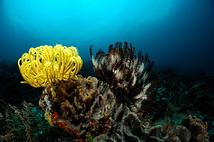 Crinoid / Feather star (Comantheria briareus) and (Oxycomanthus bennetti) Raja Ampat, West Papua, Indonesia, Pacific Ocean. - Solvin Zankl