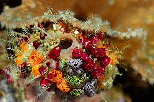 Cluster of colourful Sea tunicates, including Strawberry tunicates (Didemnidae) Raja Ampat, West Papua, Indonesia, Pacific Ocean. - Solvin Zankl