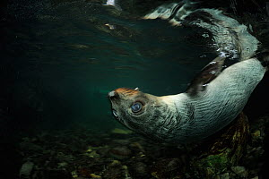New Zealand fur seal (Arctocephalus forsteri) pup swimming on back in shallow freshwater, Ohau Stream, near Kaikoura, New Zealand, July.  -  Solvin Zankl