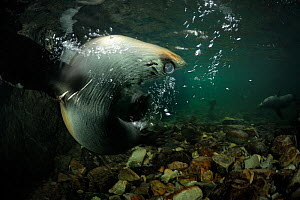 New Zealand fur seal (Arctocephalus forsteri) pup swimming in circle in freshwater, Ohau Stream, near Kaikoura, New Zealand, July.  -  Solvin Zankl