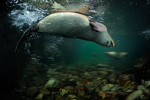 New Zealand fur seal (Arctocephalus forsteri) swimming upside down in shallow freshwater, Ohau Stream, near Kaikoura, New Zealand, July.  -  Solvin Zankl