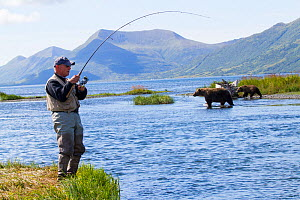 Man fishing for Coho salmon with Grizzly bears (Ursus arctos horribilis) crossing the stream behind him, Olga Bay, Kodiak Island, Alaska. Non exculsive. - LYNN M. STONE