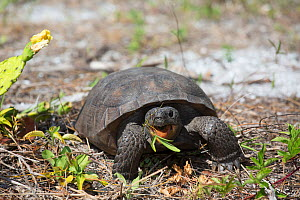 Gopher Tortoise (Gopherus polyphemus) foraging near a clump of blooming Prickly Pear Cactus (Opuntia sp.) Honeymoon Island, Florida, USA, May. Non exclusive. - LYNN M. STONE