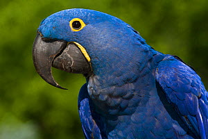 Hyacinth Macaw (Amnolorhynchus hyacinthinus) captive native to Brazil, Boliva, and Paraguay. Endemic species.  -  LYNN M. STONE