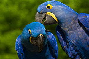 Hyacinth Macaw (Amnolorhynchus hyacinthinus) grooming another, captive native to Brazil, Boliva, and Paraguay. Endemic species.  -  LYNN M. STONE